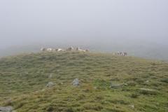 Kühe im Nebel