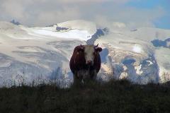 Kuh vor Gletscher